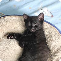 Adopt A Pet :: Pepsi - Richmond, VA