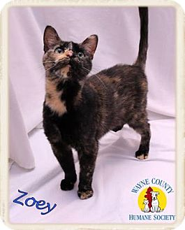 Domestic Shorthair Cat for adoption in Wooster, Ohio - Zoey