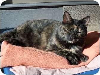 Domestic Shorthair Cat for adoption in Bentonville, Arkansas - Gold Star