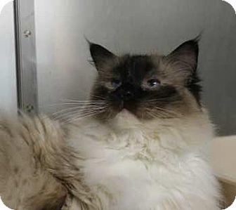 Ragdoll Cat for adoption in Lunenburg, Massachusetts - BooBoo