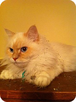 Himalayan Cat for adoption in Pittstown, New Jersey - Abby