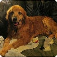 Adopt A Pet :: Henry - Denver, CO