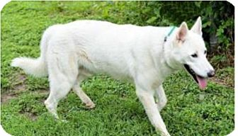 German Shepherd Dog Dog for adoption in Fort Worth, Texas - Anakin