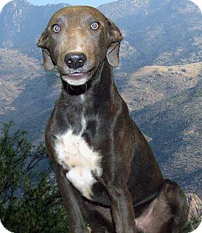 Greyhound Puppy for adoption in Tucson, Arizona - Earl