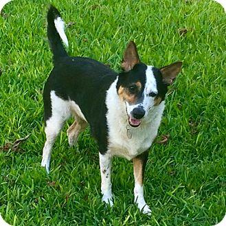 German Shepherd Dog/Blue Heeler Mix Dog for adoption in San Francisco, California - Rio
