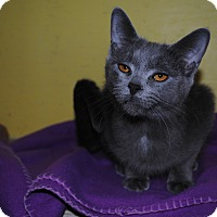 American Shorthair Cat for adoption in Bay City, Michigan - Molly