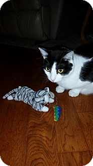 Domestic Shorthair Cat for adoption in Verona, Wisconsin - Jolie