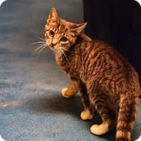 Adopt A Pet :: Kit-Kat - Pompton Plains, NJ