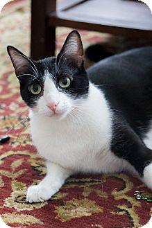 Oriental Cat for adoption in Chicago, Illinois - April