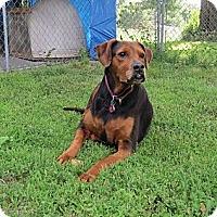 Adopt A Pet :: Taz - Geneseo, IL