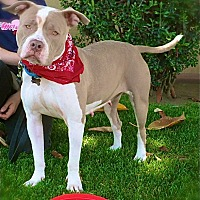 English Bulldog/Pit Bull Terrier Mix Dog for adoption in Los Angeles, California - Lovely Fiona-VIDEO
