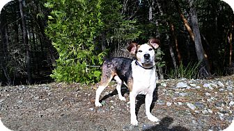 Beagle/American Staffordshire Terrier Mix Dog for adoption in Rogue River, Oregon - Mr Noel