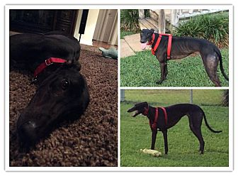 Greyhound Dog for adoption in Knoxville, Tennessee - Caroline