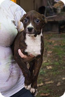 Labrador Retriever/Beagle Mix Puppy for adoption in Albany, New York - Grant