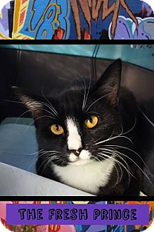 Domestic Mediumhair Cat for adoption in Mansfield, Texas - The Fresh Prince