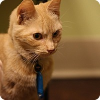 Adopt A Pet :: Basil - The Colony, TX