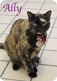 Domestic Shorthair Cat for adoption in Bradenton, Florida - Ally
