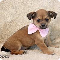 Adopt A Pet :: Selena - Dalton, GA