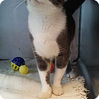 Adopt A Pet :: Linguine - South Haven, MI