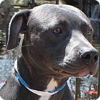 Adopt A Pet :: Chase - Hillsboro, NH