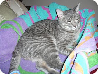 Domestic Shorthair Cat for adoption in Winder, Georgia - *Henry
