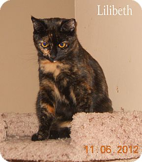 Domestic Shorthair Cat for adoption in Olmsted Falls, Ohio - Lilibeth-COURTESY POST