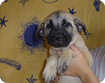 German Shepherd Dog/Labrador Retriever Mix Puppy for adoption in Oviedo, Florida - Alicia