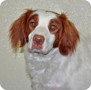 Brittany Dog for adoption in Port Washington, New York - Tiger