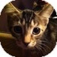 Adopt A Pet :: Nibbles - Vancouver, BC
