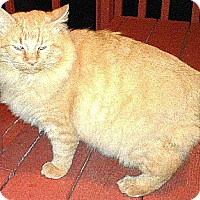 Manx Cat for adoption in Johnson City, Tennessee - Leo