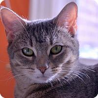 Adopt A Pet :: Ice - Brooklyn, NY
