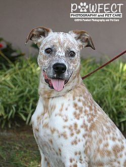 Dalmatian/Boxer Mix Dog for adoption in Gardena, California - Donny