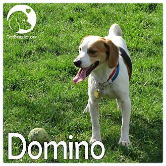 Beagle Mix Dog for adoption in Novi, Michigan - Domino