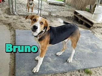 Hound (Unknown Type) Mix Dog for adoption in Barnwell, South Carolina - Bruno