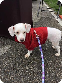 Poodle (Miniature) Mix Dog for adoption in Middletown, Ohio - Bob 2