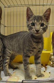 Domestic Shorthair Kitten for adoption in Pompano Beach, Florida - Chris 3