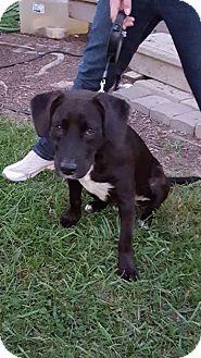 Labrador Retriever Mix Dog for adoption in Pataskala, Ohio - Milkyway (adoptoin pending)