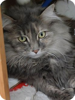 Domestic Mediumhair Cat for adoption in Martinsville, Indiana - Cupid