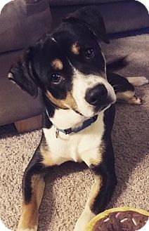 Beagle/Mixed Breed (Medium) Mix Dog for adoption in Natchitoches, Louisiana - Romeo