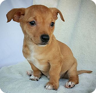 Dachshund/Chihuahua Mix Puppy for adoption in Fredericksburg, Texas - Dumbledore