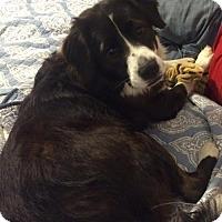 Adopt A Pet :: Sydney- Border Collie - New Hartford, NY