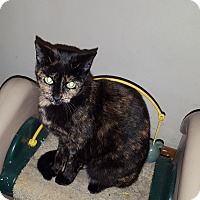 Domestic Shorthair Cat for adoption in Aurora, Illinois - Momma