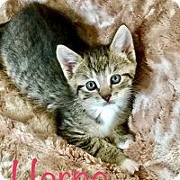 Adopt A Pet :: Harpo - Island Park, NY