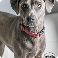 Adopt A Pet :: Zoey - Inglewood, CA