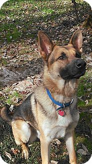 German Shepherd Dog Dog for adoption in Greeneville, Tennessee - Sampson