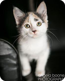 Domestic Shorthair Kitten for adoption in Eagan, Minnesota - Topeka