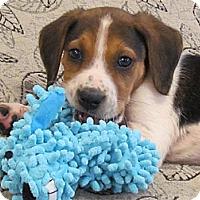 Adopt A Pet :: Poco - Chesterfield, VA