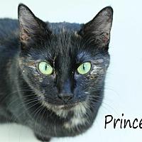 Domestic Shorthair Cat for adoption in Wichita Falls, Texas - Princess