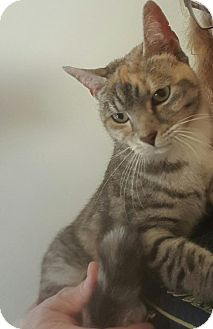 Domestic Shorthair Cat for adoption in East Stroudsburg, Pennsylvania - Embers