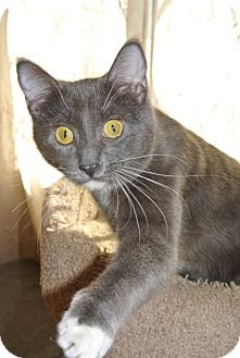 Russian Blue Cat for adoption in Chicago, Illinois - Miller
